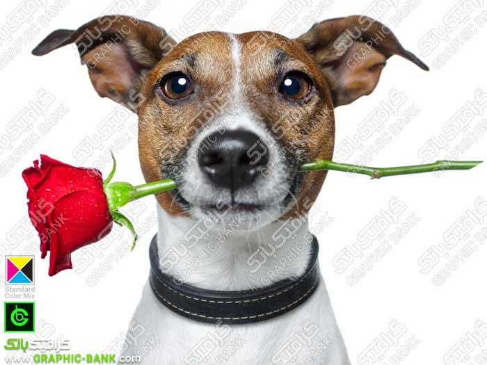 تصویر گل قرمز در دهان سگ
